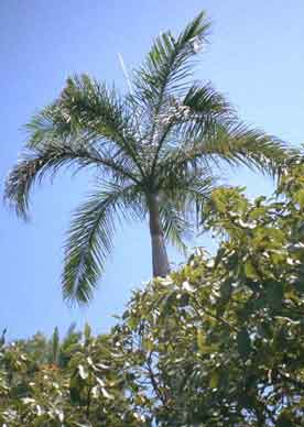 Carribean Royal