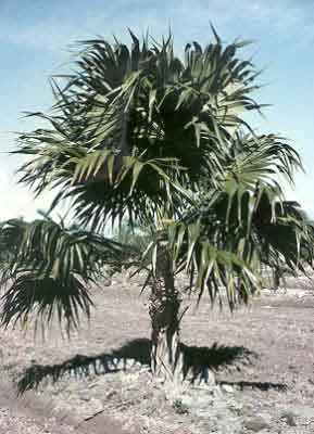 Florida Thatch