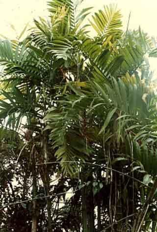 Pacayita Bamboo