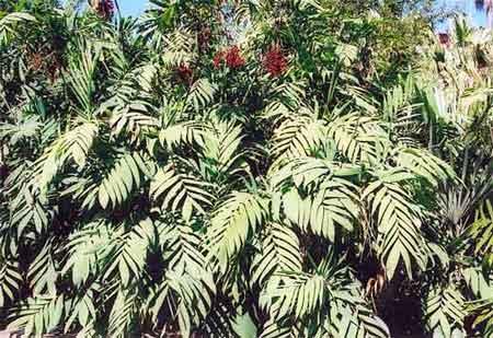 Palmilla Bamboo