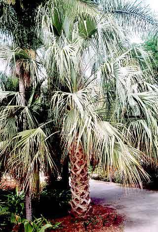 Sonoran Palmetto